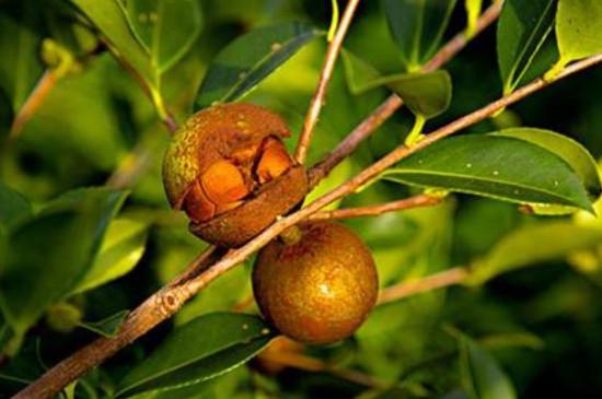 广西茶籽多少钱一斤,茶籽5~15元一斤