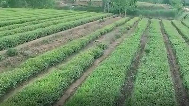 日照绿茶的功效