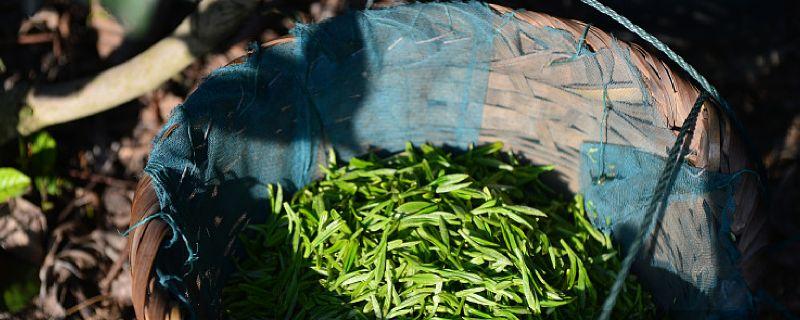 碧螺春茶的保质期是多少