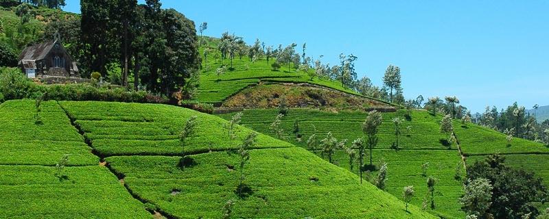 锡兰红茶产自哪里