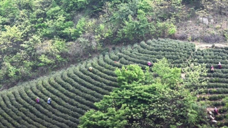 桂林毛尖产地