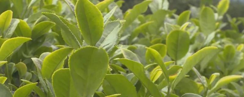 白芽奇兰是红茶还是绿茶