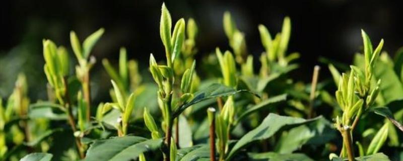 明前茶是绿茶吗
