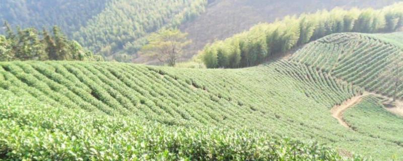 安吉高山茶属于什么茶