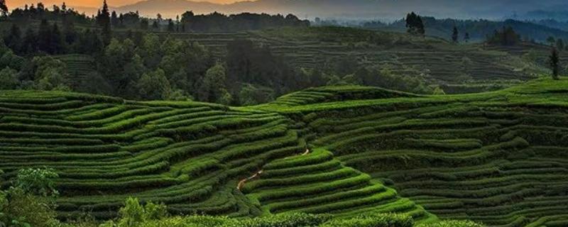 四川主要产什么茶叶