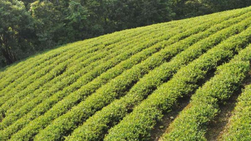 阿里山茶属于什么茶